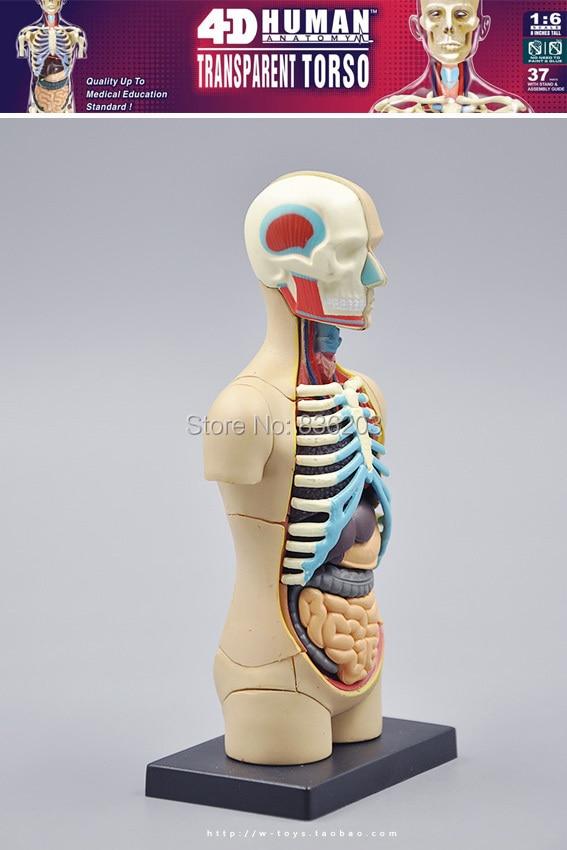 Schön Online Anatomie Modell Fotos - Anatomie Ideen - finotti.info