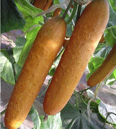 Textured Old Cucumber Cucumber Seeds 20 Pcs Healthy Vegetable Seeds ( )