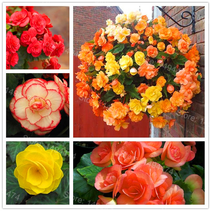 100PCS Mixed Color Begonia Flower Plant Beautiful Garden Bonsai Flower Flores Perennial Malus Spectabilis Plantas For Home Garde