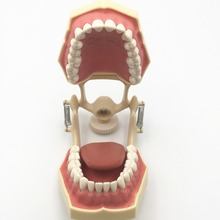 Free shipping Good quality Dental Soft Gum Teeth Model with tougneTypodont w/ 32 Removable Teeth NISSIN 200 Compatible