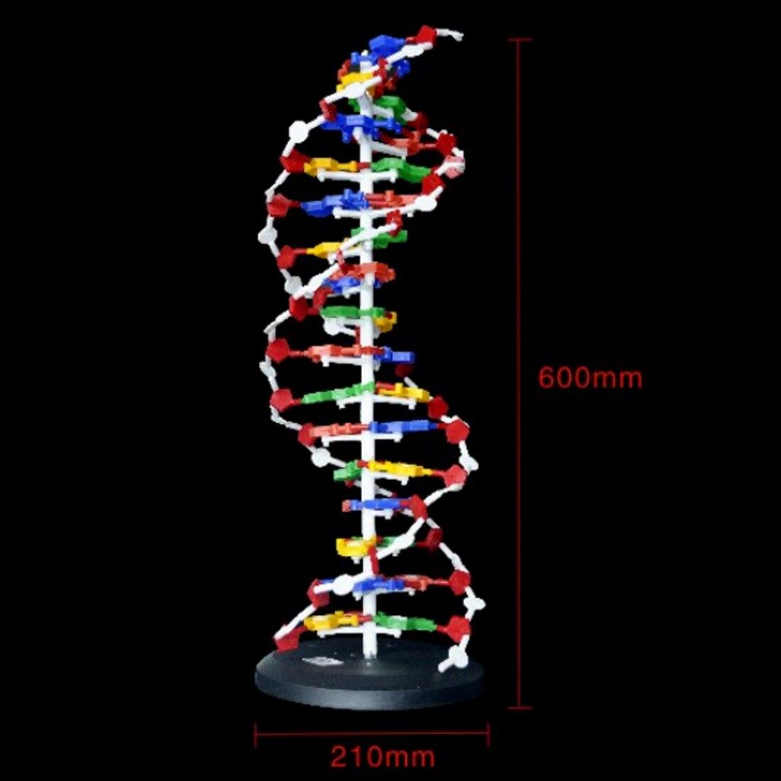 Outils pédagogiques de biologie Surwish modèle de Structure d'adn accessoires éducatifs équipement d'étude d'adn-L - 3
