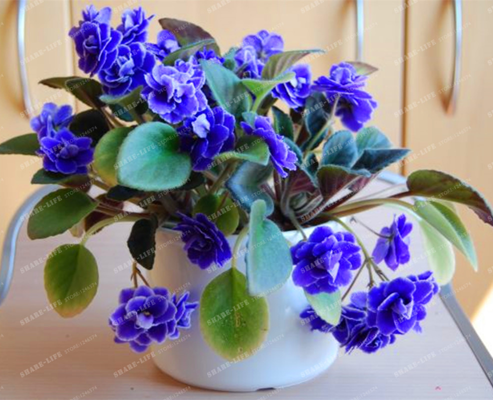 Big sale 100pcs lot variety of colors sky blue violet - Plants with blue flowers a splash of colors in the garden ...