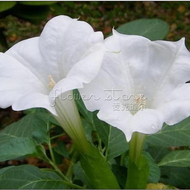 100 große Weiße Mond Blumen Samen Duftenden Duftenden garten ...