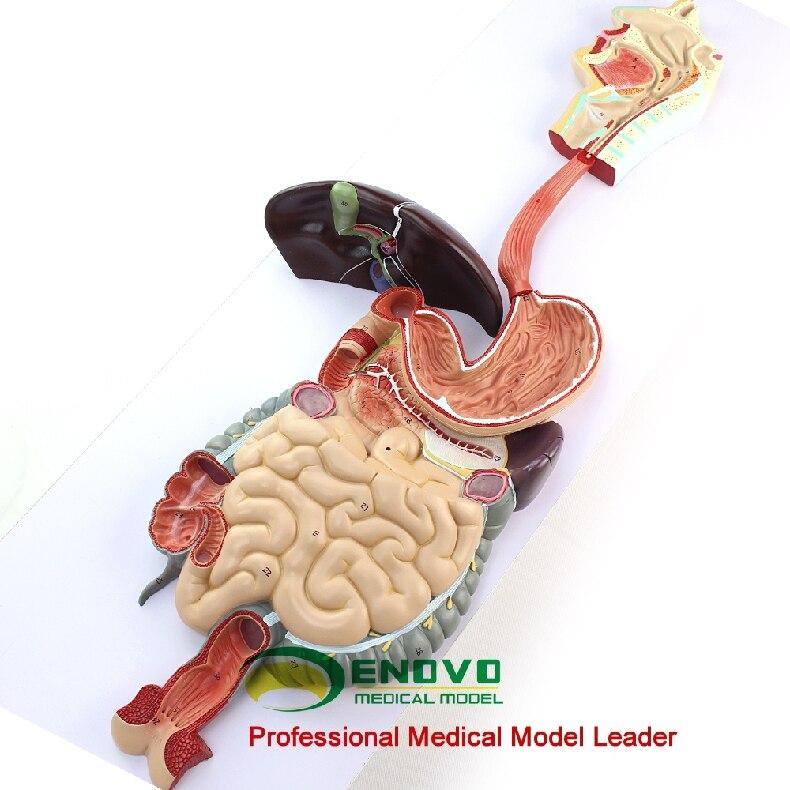 Wunderbar Verdauungssystem Zubehör Organe Galerie - Anatomie und ...
