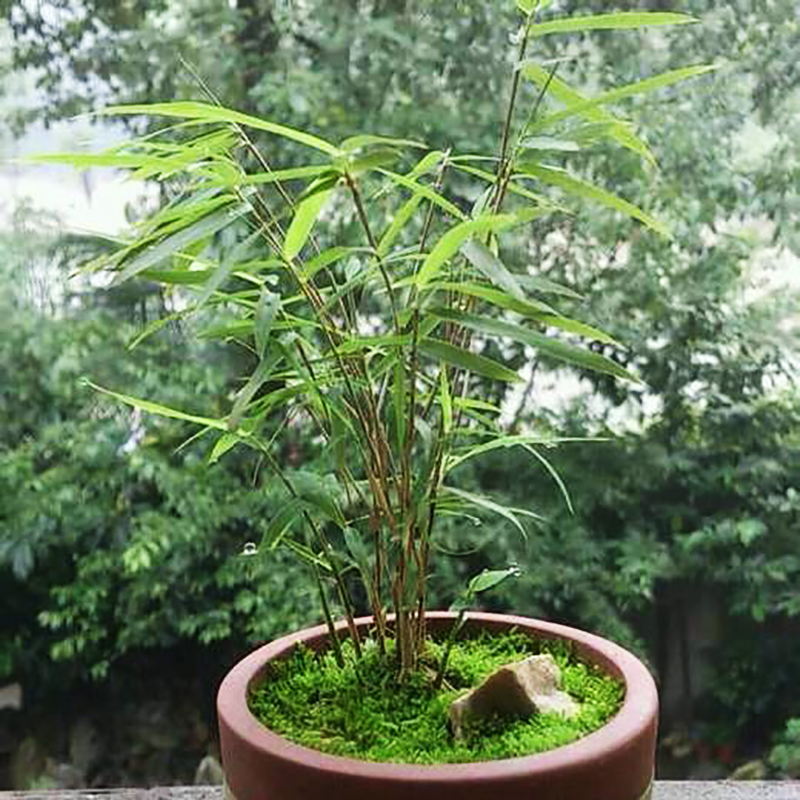 50 pieces China s Unique Ancient Bamboo Seeds of Perennial Garden Flowers Bonsai Highlight the Integrity of Tall and Straight