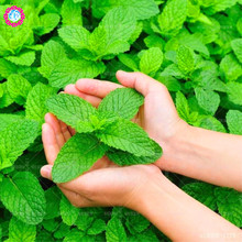 100 pcs Natrual Organic Mint Seeds Wholesale Vegetable Seeds Field Peppermint Spearmint Outdoor Home Gardening Supplies Planting