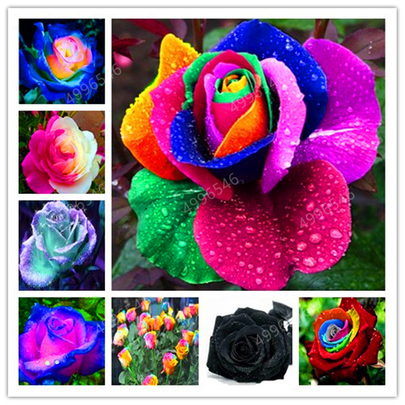 200 pcs Rare Holland Rainbow Rose Flower bonsai Home Garden Rare Flower plant rainbow Rose flores,rose flower seedlings(China)