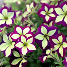 Petunia seeds Bonsai Flower Seeds DIY Home Garden Very Beautifui Color Pot Plants 200PCS