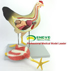 Chicken poultry anat...