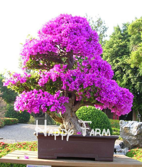 pretty bonsai little plant mini potted pink cherry tree seeds 10 piecebag - Pretty Plants