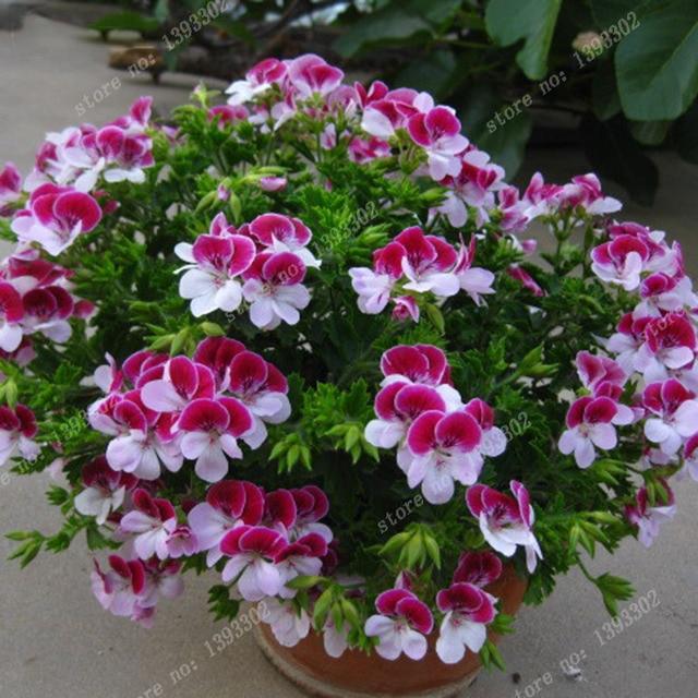 Balcón potted rojo y blanco geranios semillas de flores plantas en ...