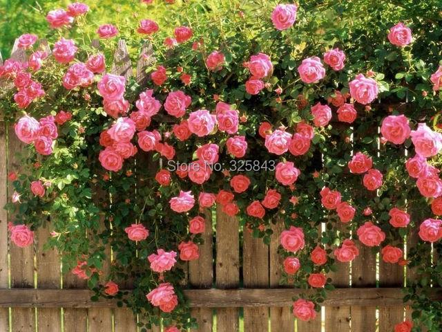 Acheter escalade graines de fleurs rose for Plants de fleurs