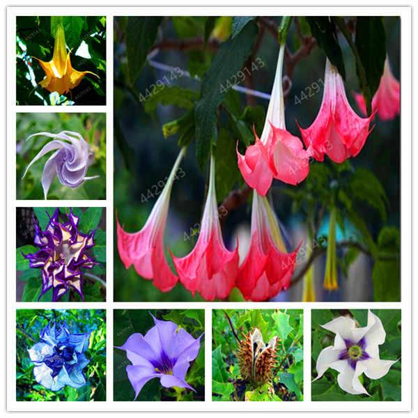 100 قطعة/الحقيبة ماندالا بونساي النباتات النادرة زهرة داتورا المعمرة الزهور للمنزل حديقة جميلة بوعاء النبات