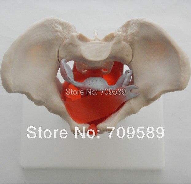 Anatomie Becken Modell mit muskeln und becken organe, Weibliche ...