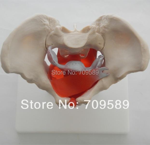 Pelvis anatomía modelo con los músculos y los órganos pélvicos ...