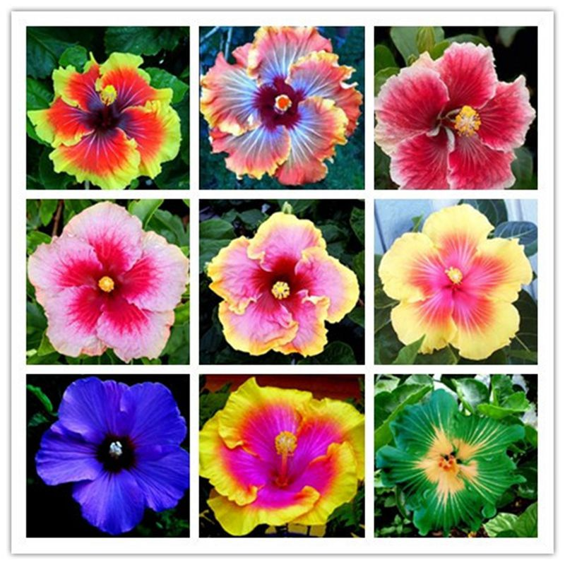 Hibiscus Flower Seeds Multiple Colors Potted Or Yard Flower Seeds