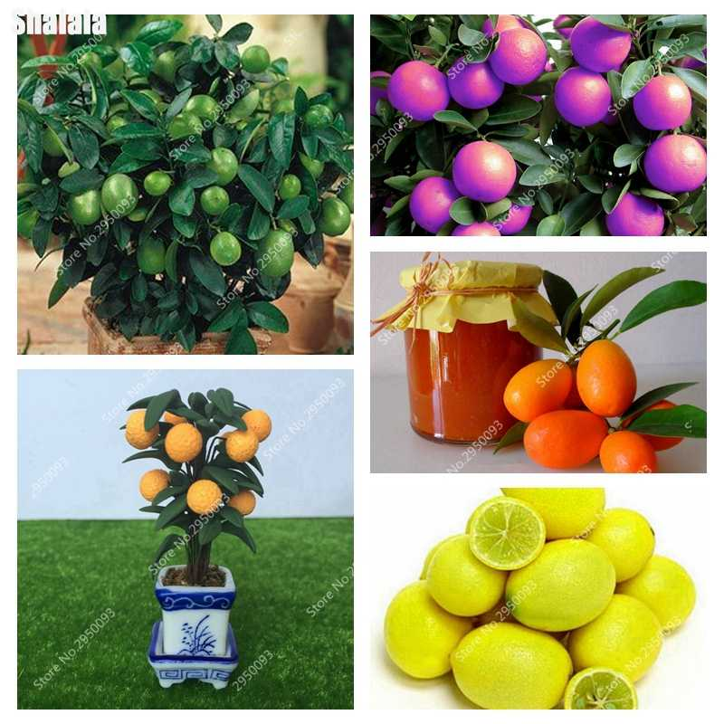 30 Pcs/bag Dwarf Kumquat Balkon Teras Bonsai Jeruk Juicy Buah Pohon Tanaman Outdoor Manis Jeruk Planta untuk Bunga Pot Planter