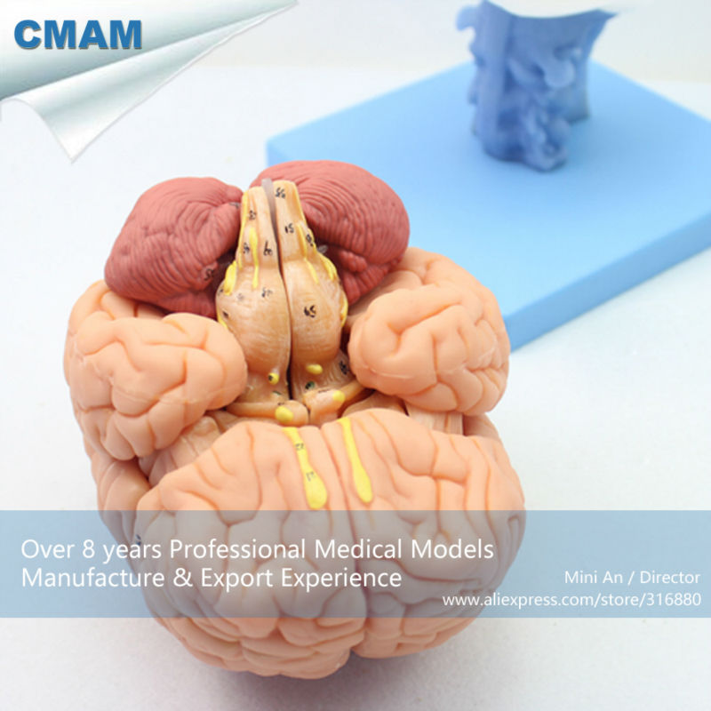 12403 CMAM-BRAIN06 Advanced Medical Education Brain Anatomical Model, 15 Part, Human Anatomy Ventricles Of Brain Stem все цены