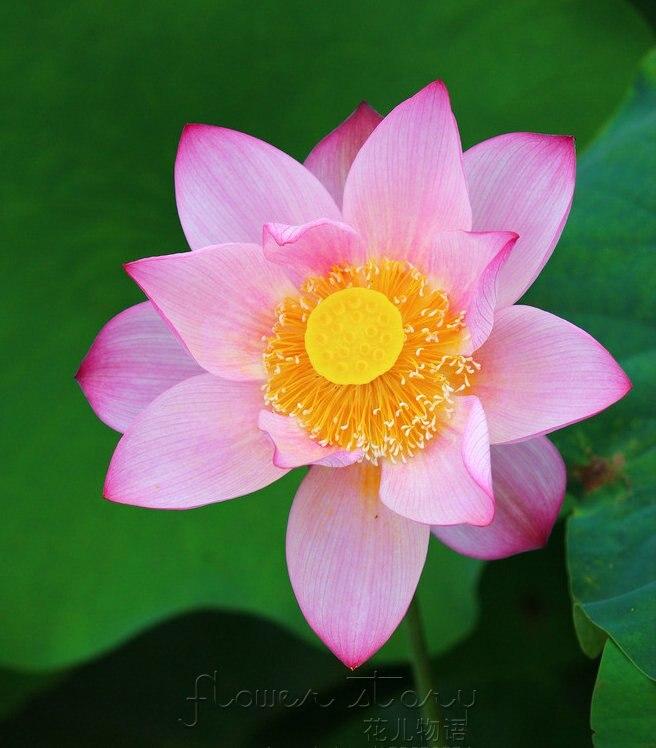 Online Get Cheap Pink Lotus Flowers