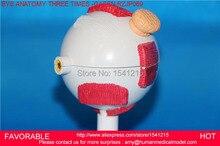 EYES ANATOMICAL MODEL,HUMAN GIANT EYE MODEL, EYEBALL STRUCTURE MODEL,EYEBALL ANATOMICAL MODEL THREE TIMES -GASEN-RZJP069A-1