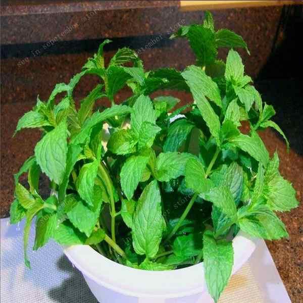 500 pz/borsa Menta Bonsais in vaso erba Piante commestibili in bonsai o pentola Organico Plantas verdure per la casa e il giardino trasporto libero