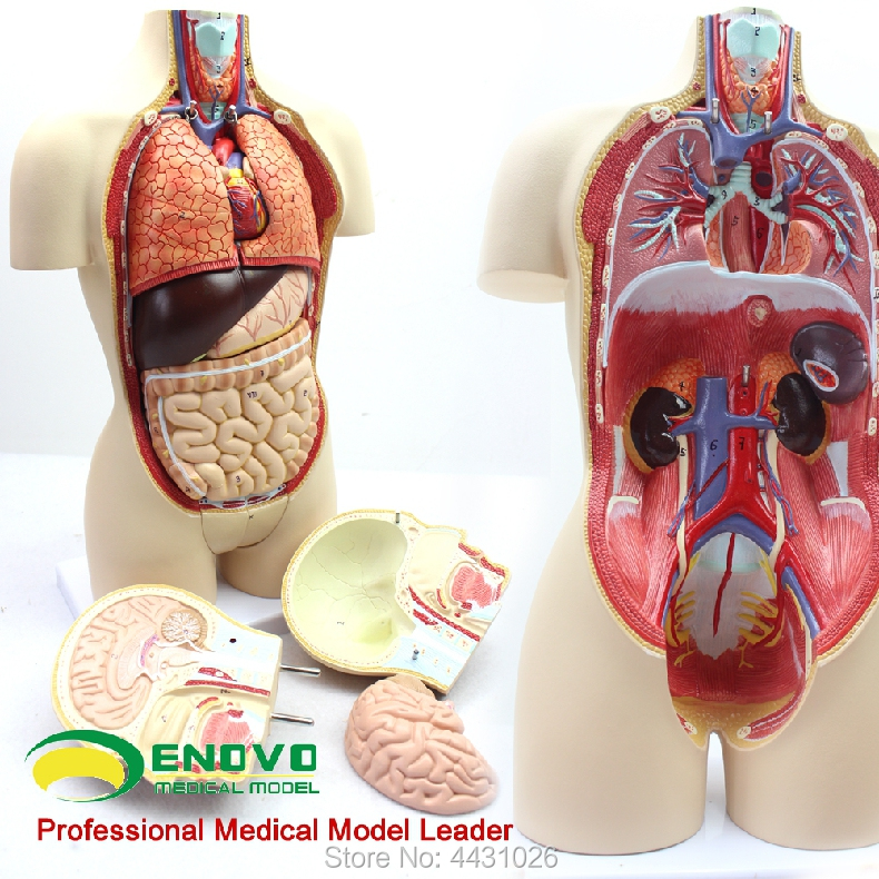 ENOVO Anatomical model of male and female organs of middle - sized medical human organs