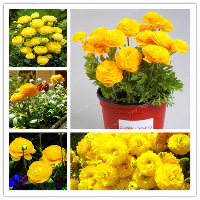 aliexpress : buy 100 pcs rare yellow ranunculus asiaticus