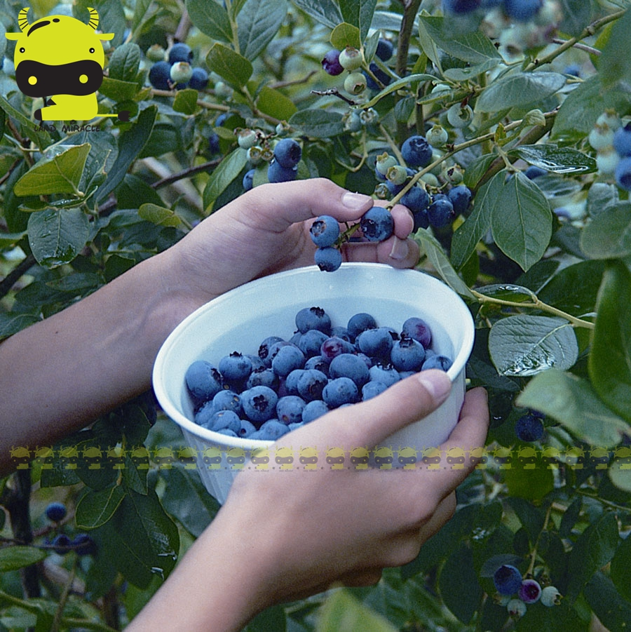 The Biggest Fruit Blueberry Seed, 100 Seeds/Pack, Juicy-sweet Organic Seed Tasty Succulent Plant For Home Garden