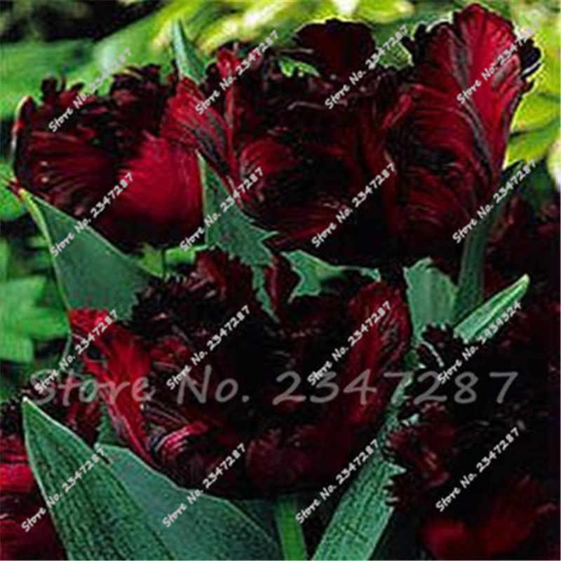 Vendita Calda Rare di Tulipano Bonsai Bonsai Fiore Bonsai Piante Aromatiche Nero Tulipano Bonsai 100 pz