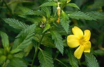 ФОТО 1kg 10:1 Damiana leaf extract powder