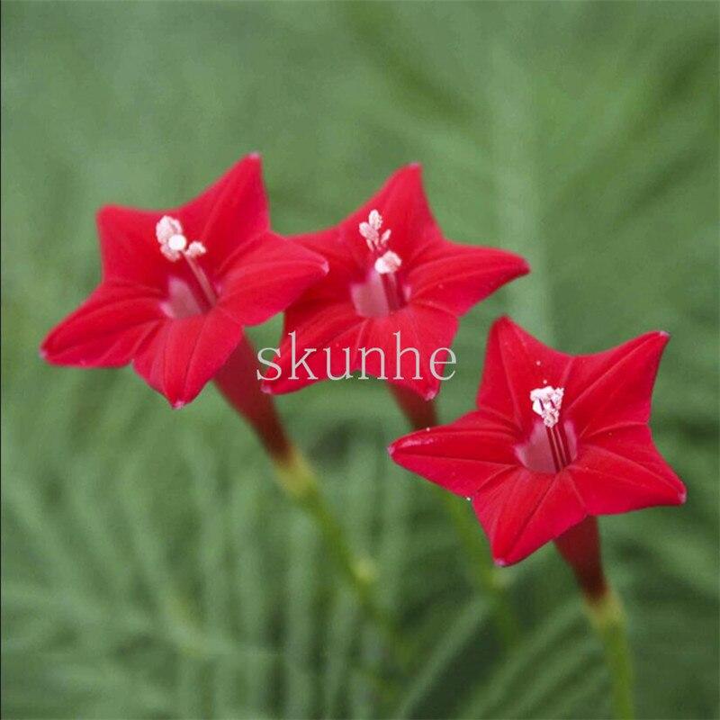 Перо Лист укроп бонсай пятизвездочный цветок бонсай пальмовый лист круглый лист укроп удобрение виды цветок 100 шт. (niao luo)