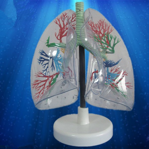 Medical teaching supplies biological Transparent lung segment model