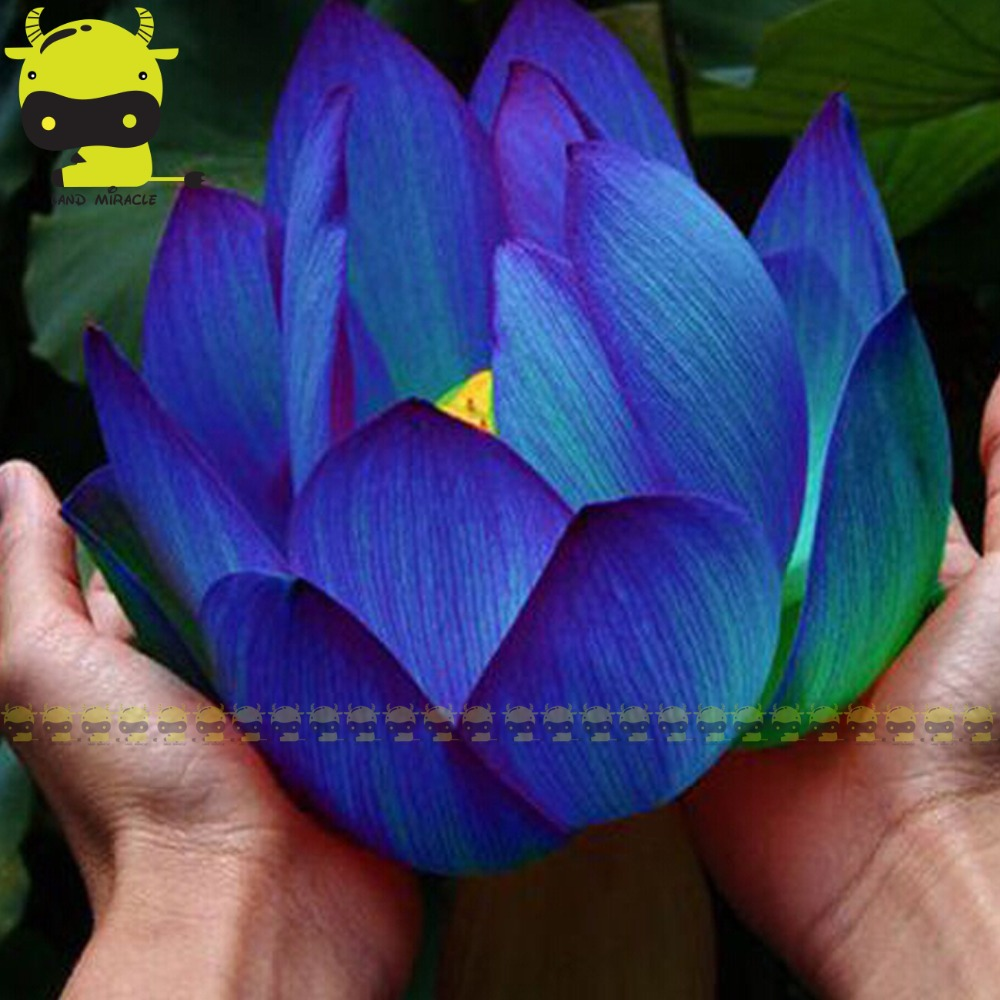 Giant Meteor Blue Lotus Flower Seed, 1 SEED/PACK, 3 Types Dark ...