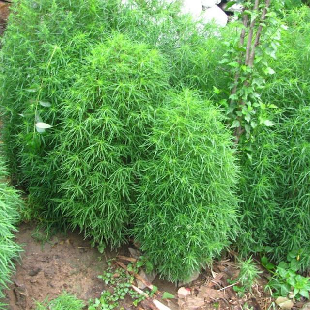 Grass Seeds Perennial Grass Burning Bush Kochia Scoparia Seeds Summer  Cypress Seed Garden Ornamental Easy Grow