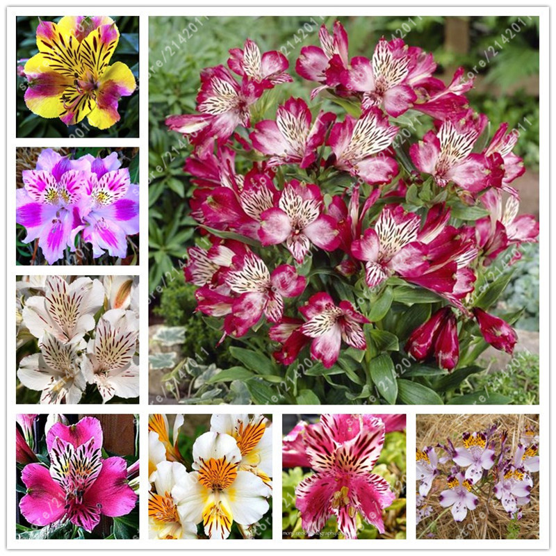 100pcs/bag Alstroemeria seeds Peruvian Lily Alstroemeria Inca Bandit – Princess lily bonsai flower seeds planta for home garden