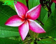 7-15inch Rooted Plumeria Plant Thailand Rare Real Frangipani Plants no34-banyen-1