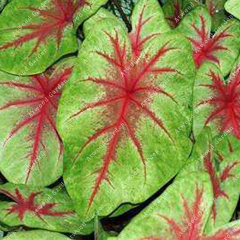 ZLKING 100 قطعة جميلة Caladium Bicolor بونساي الكامل من حيوية داخلي أصائص زرع دائم الخضرة الديكور