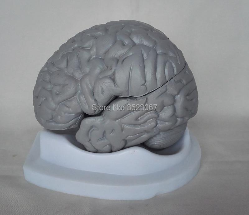 4D Human Life Size Brain anatomy organs Models 3 Parts Anatomical ...