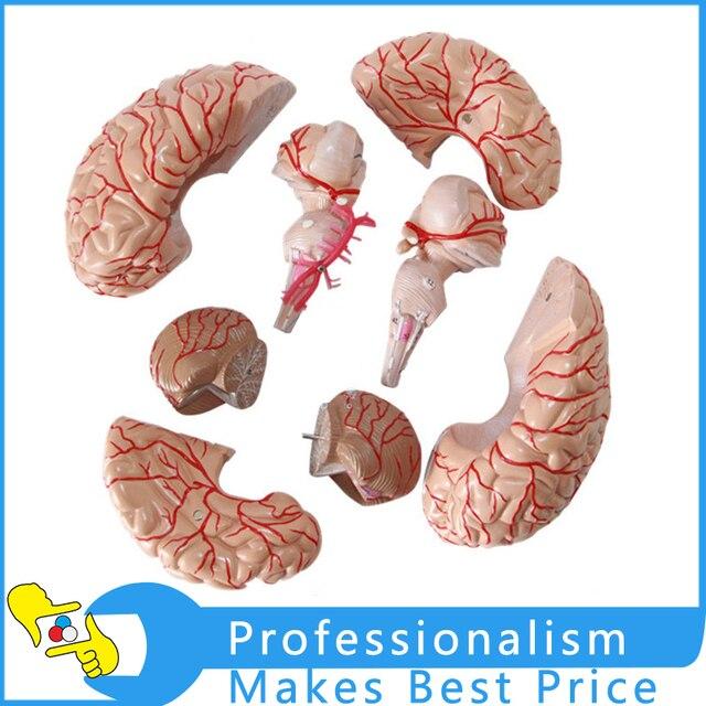 11 Human Big Brain Anatomical Model Brain Arteries Dissection