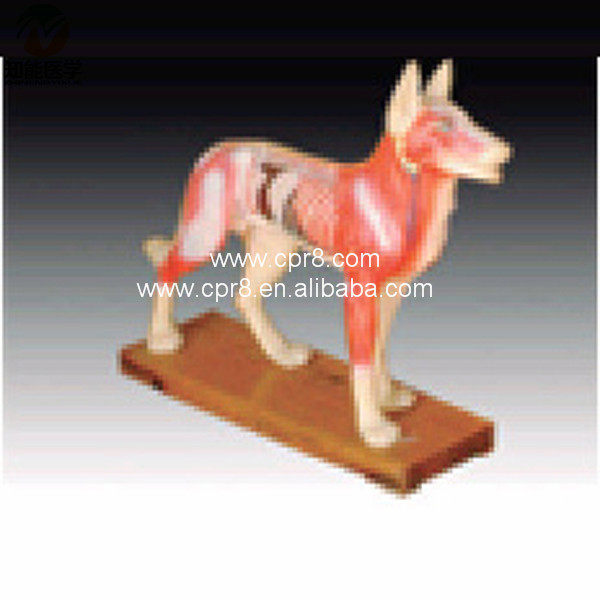 BIX-Y1027  Dog Acupuncture Model   MQ186