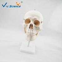 Medical Education Advance Life Size Skull with Cervical Spine Skeleton Model