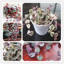 Ceropegia Woodii Bonsai 100 pcs Flores Bonsai Flor Rara do Mundo Casa Jardim Bonsai Suculenta Planta Botânica Cesta Vaso de plantas(China)