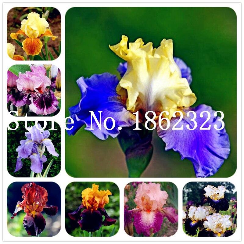 Лидер продаж! 100 шт. ирис цветок, ирис Орхидея карликовые деревья, семена пиона многолетний цветок завод, завод для дома сад очистить воздух