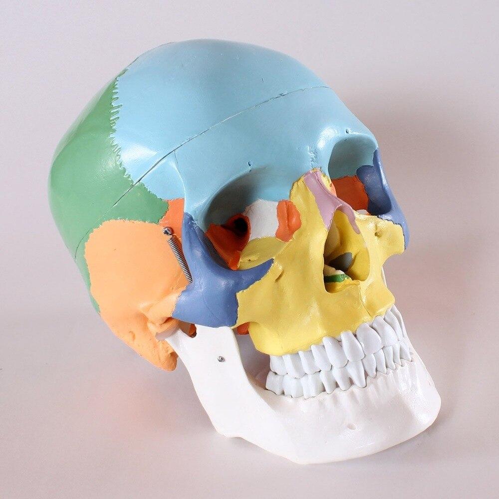Aliexpress.com : Buy life size Human anatomy skull brain skeleton ...