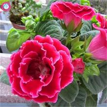 100Pcs Gloxinia Seeds Sinningia Speciosa Indoor Bonsai Plants Mix Colors Perennial Beautiful Flower for Diy Home Garden Supplies