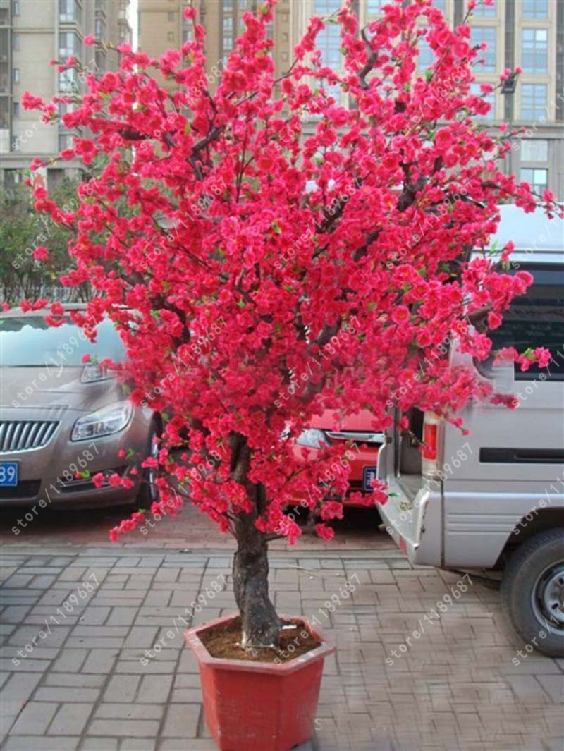 Online get cheap red trees aliexpress alibaba group 10 pcs red japanese cherry blossoms seeds courtyard garden bonsai tree seeds small sakura tree flower dhlflorist Image collections