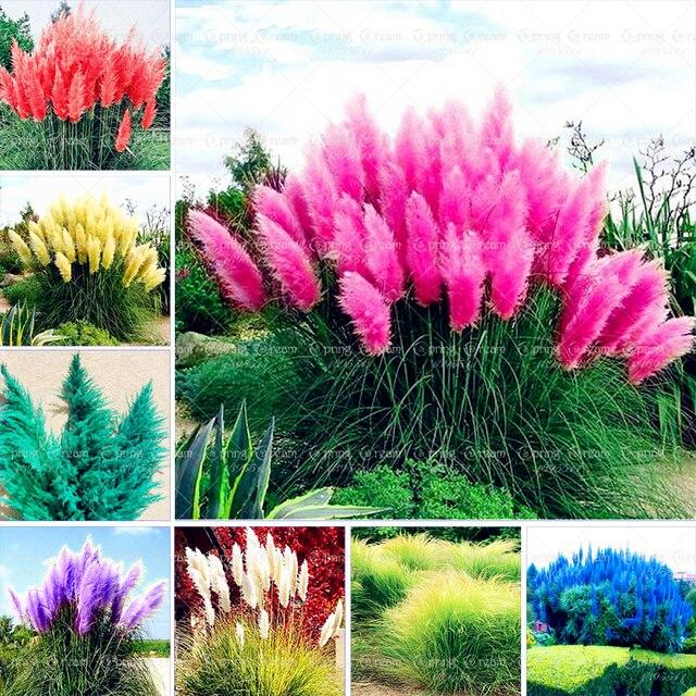 1000 Pcs بمب نادر 12 الألوان بمب العشب حديقة النبات بونساي الزينة Cortaderia Selloana العشب بوعاء للديكور ديي