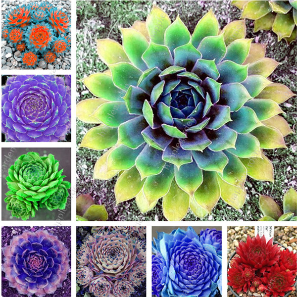 100 Pcs/Lot Succulent Mixed Sempervivum Bonsai (Sempervivum Hybridum) Bonsai Plant Flower Outdoor Plant For Home Garden Decor