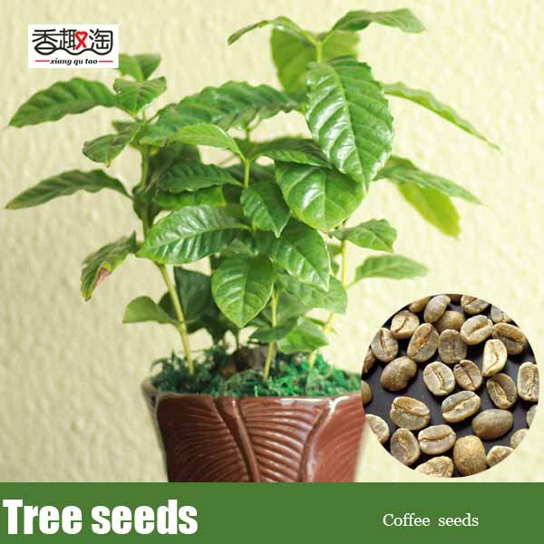 coffee from ampalaya seeds Moringa oleifera is the most widely cultivated species in the genus moringa, the only genus in the plant family moringaceae common names include moringa, drumstick tree (from the long, slender, triangular seed-pods), horseradish tree (from the taste of the roots, which.