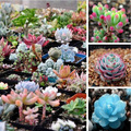 free ship 40 Mix Succulent seeds lotus Lithops Pseudotruncatella Bonsai plants Seeds for home & garden Flower pots planters